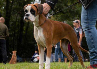 SwissBoxer-DogShow-2019-©BoxerClubGVA-(106)