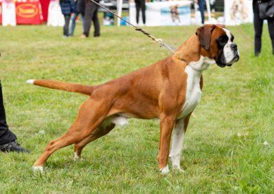 SwissBoxer-DogShow-2019-©BoxerClubGVA-(126)