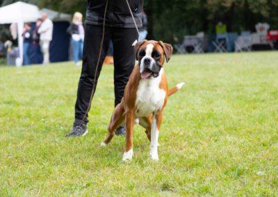 SwissBoxer-DogShow-2019-©BoxerClubGVA-(135)
