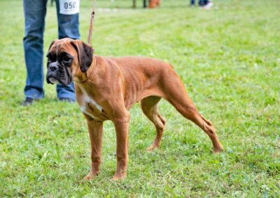 SwissBoxer-DogShow-2019-©BoxerClubGVA-(139)