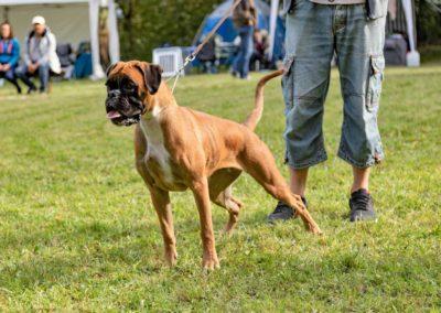 SwissBoxer-DogShow-2019-©BoxerClubGVA-(153)