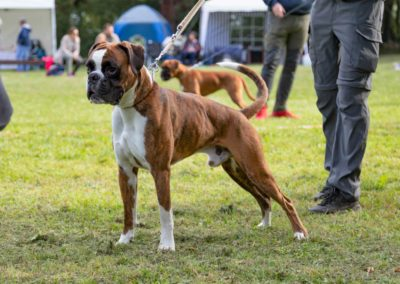 SwissBoxer-DogShow-2019-©BoxerClubGVA-(157)