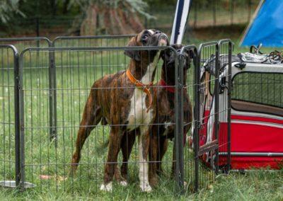 SwissBoxer-DogShow-2019-©BoxerClubGVA-(16)