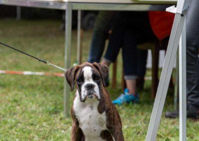 SwissBoxer-DogShow-2019-©BoxerClubGVA-(176)