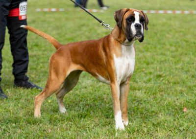 SwissBoxer-DogShow-2019-©BoxerClubGVA-(189)