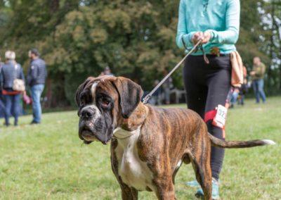 SwissBoxer-DogShow-2019-©BoxerClubGVA-(196)