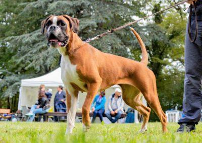 SwissBoxer-DogShow-2019-©BoxerClubGVA-(221)