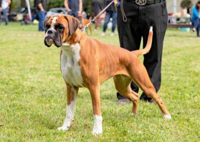 SwissBoxer-DogShow-2019-©BoxerClubGVA-(229)