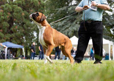 SwissBoxer-DogShow-2019-©BoxerClubGVA-(230)