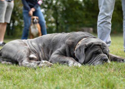 SwissBoxer-DogShow-2019-©BoxerClubGVA-(241)