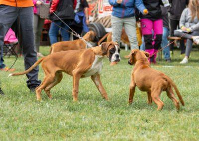 SwissBoxer-DogShow-2019-©BoxerClubGVA-(26)