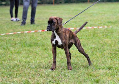 SwissBoxer-DogShow-2019-©BoxerClubGVA-(280)