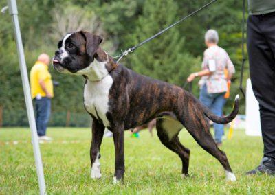 SwissBoxer-DogShow-2019-©BoxerClubGVA-(286)