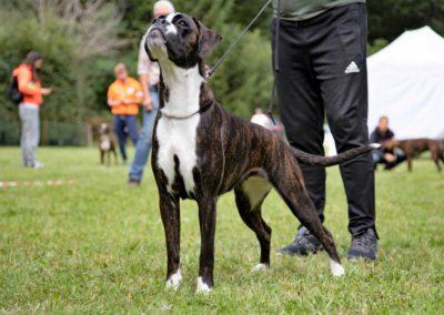 SwissBoxer-DogShow-2019-©BoxerClubGVA-(287)