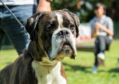 SwissBoxer-DogShow-2019-©BoxerClubGVA-(299)