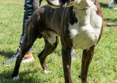 SwissBoxer-DogShow-2019-©BoxerClubGVA-(300)