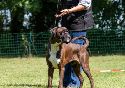 SwissBoxer-DogShow-2019-©BoxerClubGVA-(301)