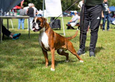 SwissBoxer-DogShow-2019-©BoxerClubGVA-(314)