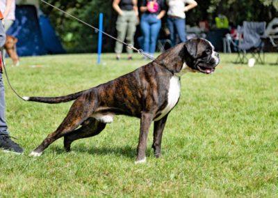 SwissBoxer-DogShow-2019-©BoxerClubGVA-(315)