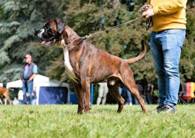 SwissBoxer-DogShow-2019-©BoxerClubGVA-(317)
