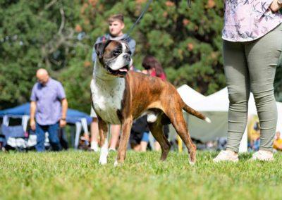 SwissBoxer-DogShow-2019-©BoxerClubGVA-(320)