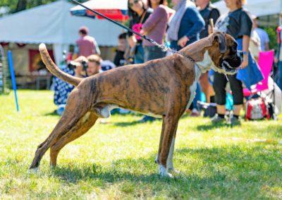 SwissBoxer-DogShow-2019-©BoxerClubGVA-(329)