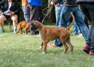 SwissBoxer-DogShow-2019-©BoxerClubGVA-(33)