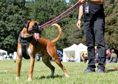 SwissBoxer-DogShow-2019-©BoxerClubGVA-(337)