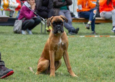 SwissBoxer-DogShow-2019-©BoxerClubGVA-(35)