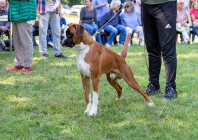 SwissBoxer-DogShow-2019-©BoxerClubGVA-(415)