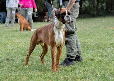 SwissBoxer-DogShow-2019-©BoxerClubGVA-(51)