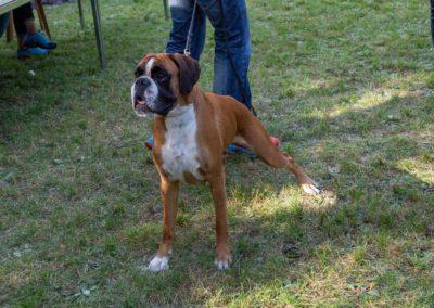SwissBoxer-DogShow-2019-©BoxerClubGVA-(538)