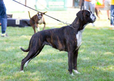 SwissBoxer-DogShow-2019-©BoxerClubGVA-(548)