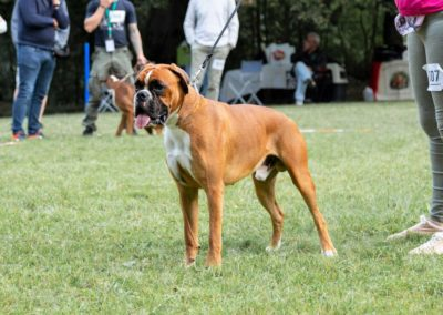 SwissBoxer-DogShow-2019-©BoxerClubGVA-(55)