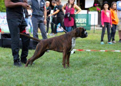 SwissBoxer-DogShow-2019-©BoxerClubGVA-(561)