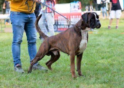 SwissBoxer-DogShow-2019-©BoxerClubGVA-(563)