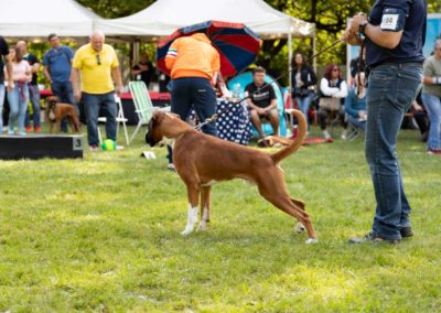 SwissBoxer-DogShow-2019-©BoxerClubGVA-(576)