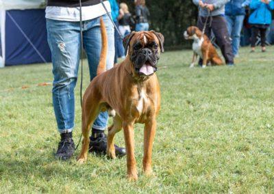 SwissBoxer-DogShow-2019-©BoxerClubGVA-(67)