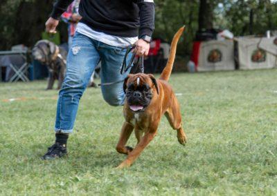 SwissBoxer-DogShow-2019-©BoxerClubGVA-(74)