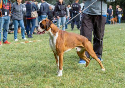 SwissBoxer-DogShow-2019-©BoxerClubGVA-(78)