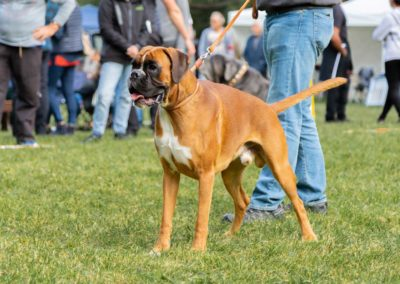 SwissBoxer-DogShow-2019-©BoxerClubGVA-(91)